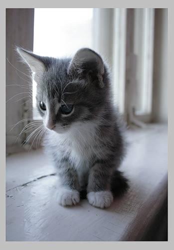 cute-grey-kitten